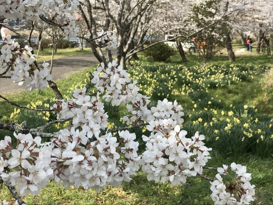 家地川の桜と水仙